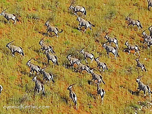 Flying in a micro-light above African wildlife - A heard a oryx in Upington, South Africa