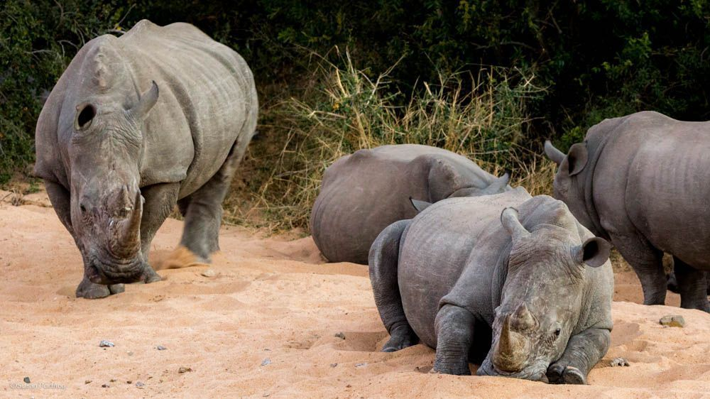 How can we afford not to - Save Just One Rhino -Travelers Building Change and Green Travel Media have partnered to raise money for a project called Rhinos Without Borders. The RWB project is being spearheaded by Great Plains Foundation founders Dereck and Beverly Joubert — National Geographic Explorers, acclaimed wildlife photographers/filmmakers. The Jouberts are now dedicated to rhino conservation. They are based in Botswana's Okavango Delta, and the operation called Rhinos Without Borders in an effort to trans-locate 100 white and black rhinos from South Africa to Botswana in the year 2015.