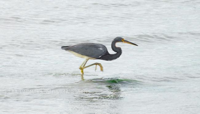 bird in La Paz bay in Mexico © curiousKester.com | Kirsten K. Kester
