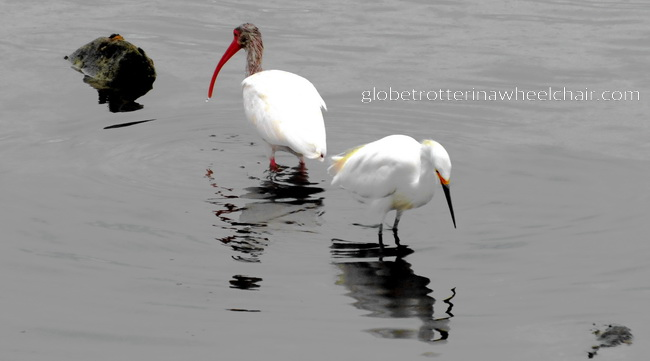 two ibis birds in La Paz bay in Mexico © curiousKester.com | Kirsten K. Kester
