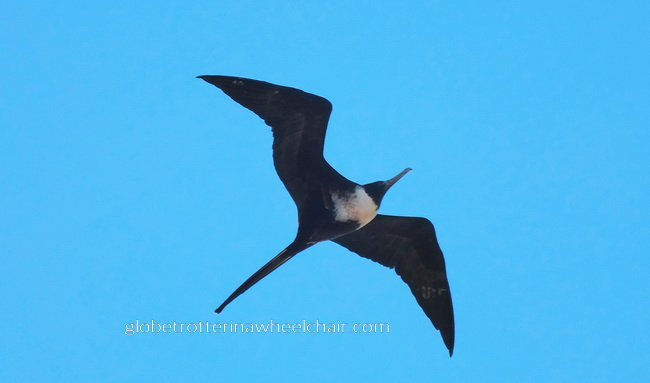 fregatebird in La Paz bay in Mexico © curiousKester.com | Kirsten K. Kester