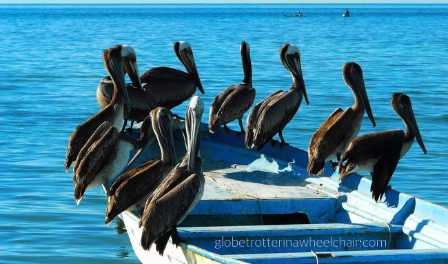 several pelicans sitting on a boat in La Paz bay in Mexico © curiousKester.com | Kirsten K. Kester