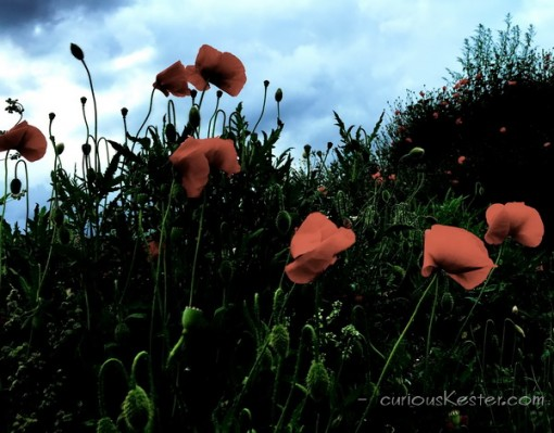 New website - poppies